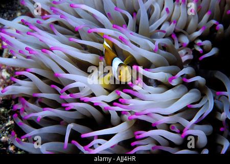 Clown anemonefish Amphiprion percula Tuamotus French Polynesia Pacific Ocean