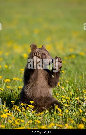 Brown Bear Cub sitting in wildflowers Yukon Territory Canada Tatshenshini Alsek Wilderness Spring - Stock Photo