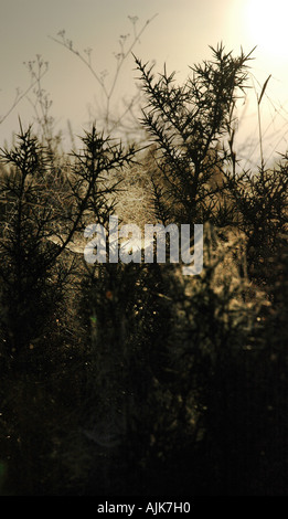 silhouetted thorn bush in early morning light Valencia Spain - Stock Photo