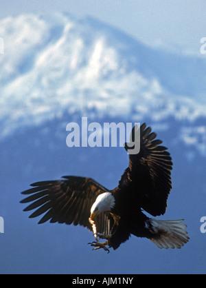 Bald Eagle with small fish in beak near Homer, Alaska - Stock Photo