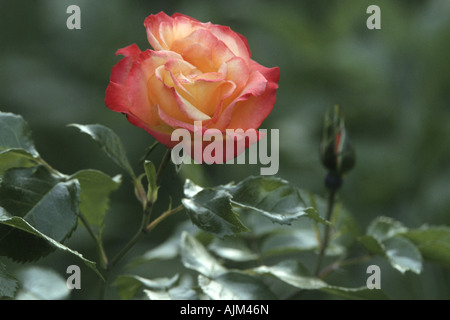 ornamental rose (Rosa 'Bonanza', Rosa Bonanza), flowers - Stock Photo