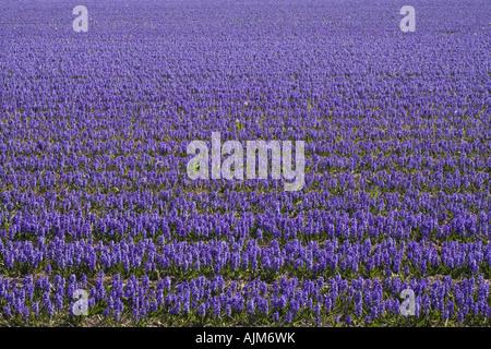Jacinthe (Hyacinthus orientalis), Field of hyacinths in Keukenhof Garden, Netherlands, Lisse - Stock Photo