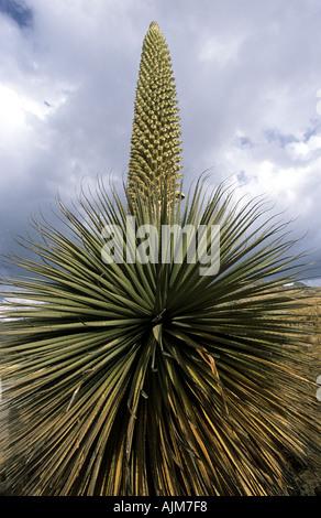 Peru Andes South America Latin America flora - Stock Photo