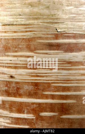 Poplar bark - Stock Photo