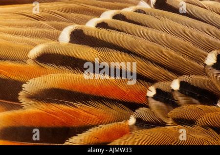 Wing detail of pallid cuckoo, , ,  , NE Victoria, Australia, horizontal, Cuculus pallidus - Stock Photo