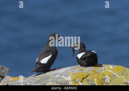 Black Guillemot Courting pair with fish Cepphus grylle Mousa Island Shetland Islands UK BI010323 - Stock Photo