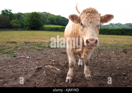 A bull named Tunis stands aggressively in a field. - Stock Photo