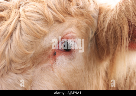 Closeup of a bull named Trouble. - Stock Photo