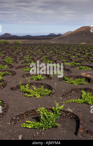 Grape vines grow in black volcanic sand on Lanzarote, one of the Spanish-ruled Canary Islands in the Atlantic Ocean. - Stock Photo