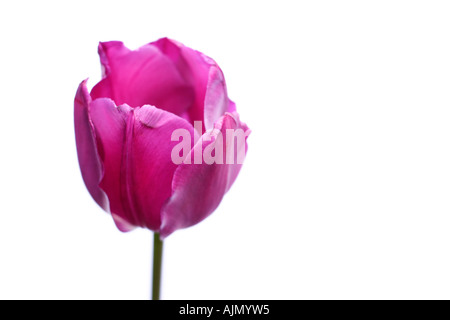 Side view of purple tulip, latin name tulipa, against a white background. - Stock Photo