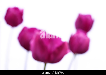 Side view of purple tulips, latin name tulipa, thrown out of focus against a white background. - Stock Photo