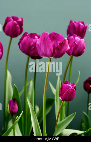 Side view of purple tulips, latin name tulipa,  against a green background. - Stock Photo
