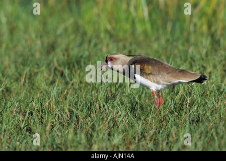 Southern Lapwing calling Vanellus chilensis Buenos Aires province LasPampas Argentina South America - Stock Photo