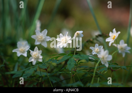 Anemone Nemorosa Vestal Wood anemone - Stock Photo