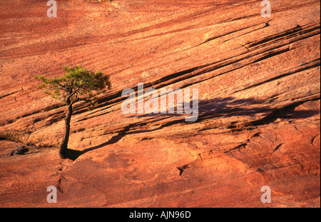 A sunset view of a stunted pine tree growing out of bare red rock Zion National Park Utah USA - Stock Photo
