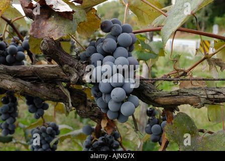 Ripe Concord Grape cluster on the vine - Stock Photo