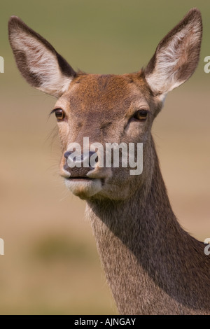 Close-up of red female deer Richmond Park London England UK - Stock Photo