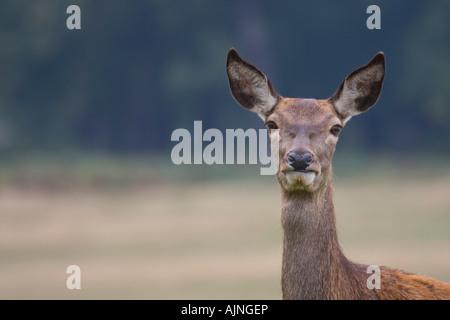 Red female deer Richmond Park London England UK - Stock Photo