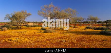 Wildflowers in mulga scrub Western Australia - Stock Photo