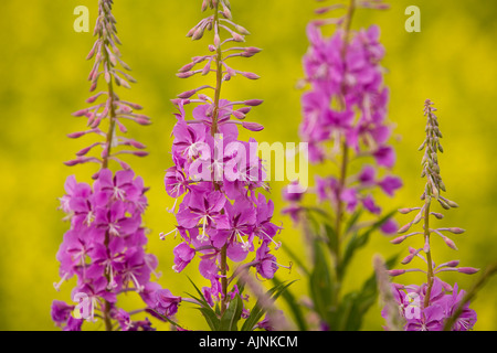 Fireweed and canola field, Flat River, Prince Edward Island, Canada - Stock Photo
