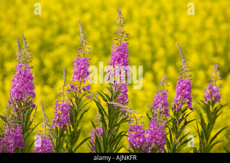 Fireweed and yellow canola field, Flat River, Prince Edward Island, Canada - Stock Photo
