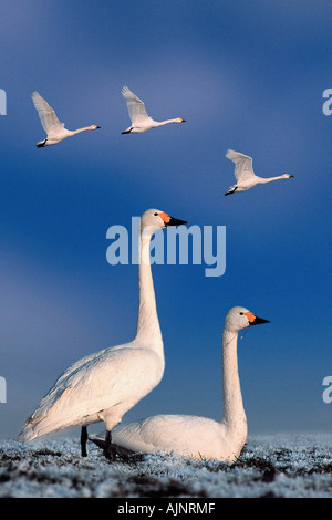 Bewick s Swans Cygnus columbianus bewicki - Stock Photo