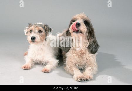 Parson Jack Russell Terrier and Petit Basset Griffon Vendeen - Stock Photo