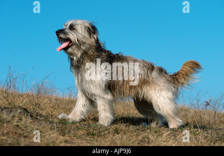 Pyrenean Shepherd Berger des Pyrenees side - Stock Photo