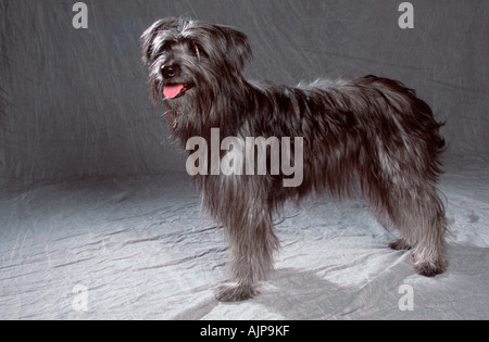 Pyrenean Shepherd Berger des Pyrenees - Stock Photo