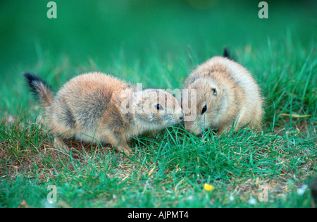 Young Black tailed Prairie Dogs Cynomys ludovicianus - Stock Photo