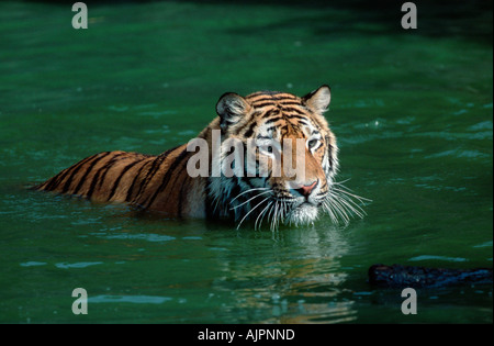 sibirian tiger  panthera tigris altaica  young one in snow