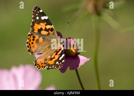 Painted Lady or Thistle Butterfly on Cosmos blossom - Stock Photo