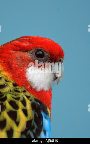 Eastern Rosella female Platycercus eximius side profile - Stock Photo