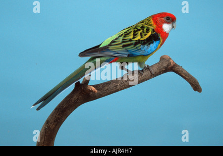 Eastern Rosella female Platycercus eximius - Stock Photo