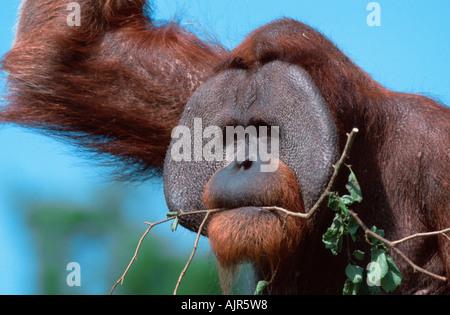 Sumatran Orang Utan male Pongo pygmaeus abelii - Stock Photo