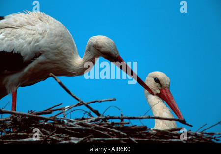 White Storks pair grooming Lower Saxony Germany Ciconia ciconia - Stock Photo