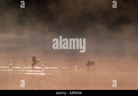 Coots in morning haze North Rhine Westphalia Germany Fulica atra - Stock Photo