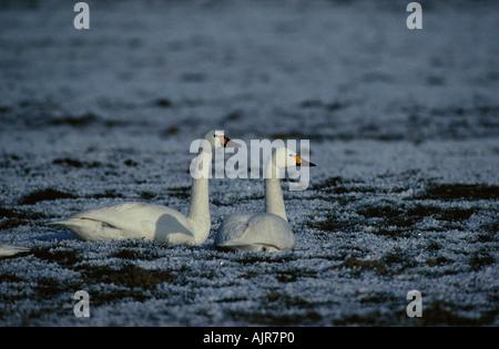 Bewick s Swans in winter Netherlands Cygnus columbianus bewickii - Stock Photo