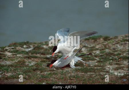 Common Terns pair mating Texel Netherlands Sterna hirundo - Stock Photo