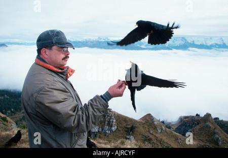 Man feeding Alpine Choughs Switzerland Pyrrhocorax graculus - Stock Photo