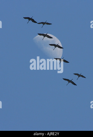 Grus grus - Flock of migrating common cranes in graceful flight with full moon as background - Stock Photo