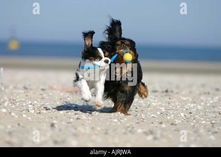 Cavalier King Charles Spaniel retrieving ball at beach Cavalier King Charles Spaniel apportieren Ball am Strand - Stock Photo
