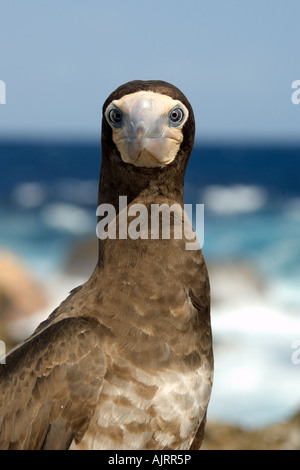 Brown booby Sula leucogaster St Peter and St Paul s rocks Brazil Atlantic Ocean - Stock Photo