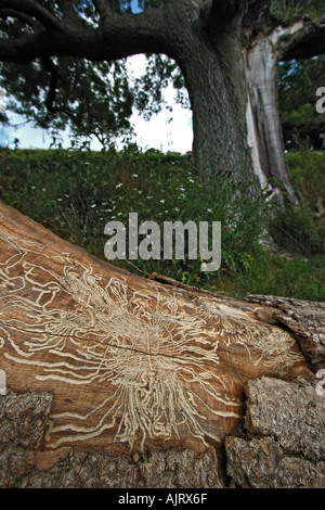Woodworm galleries on Beech stump Kent - Stock Photo