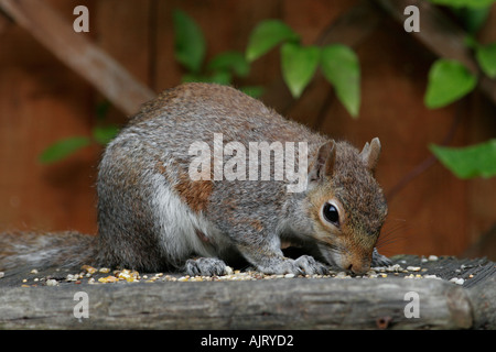 Grey Squirrel on garden bird table - Stock Photo