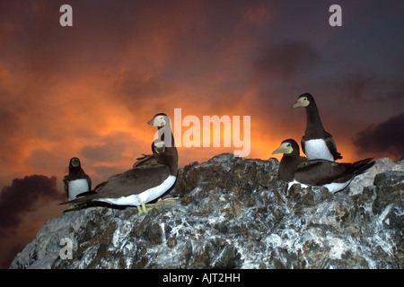 Brown boobies Sula leucogaster rookery at dusk St Peter and St Paul s rocks Brazil Atlantic Ocean - Stock Photo