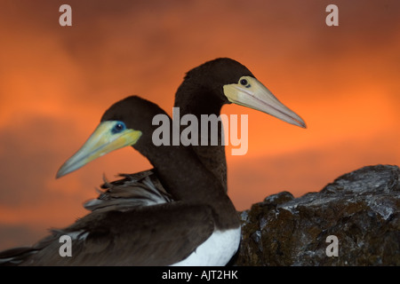 Brown boobies Sula leucogaster couple at dusk St Peter and St Paul s rocks Brazil Atlantic Ocean - Stock Photo