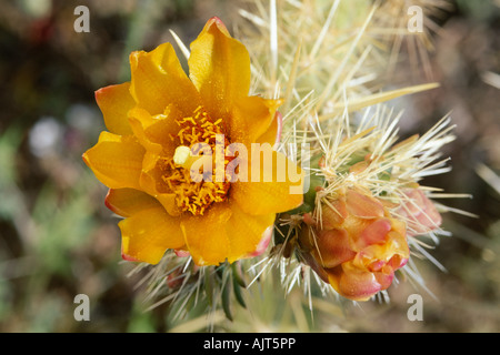 Buckhorn cholla (Opuntia acanthocarpa) - Stock Photo