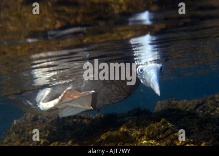 Brown booby Sula leucogaster foraging underwater St Peter and St Paul s rocks Brazil Atlantic Ocean - Stock Photo