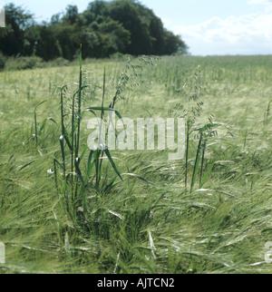 Wild oats Avena fatua flowering panicles in barley crop in ear - Stock Photo